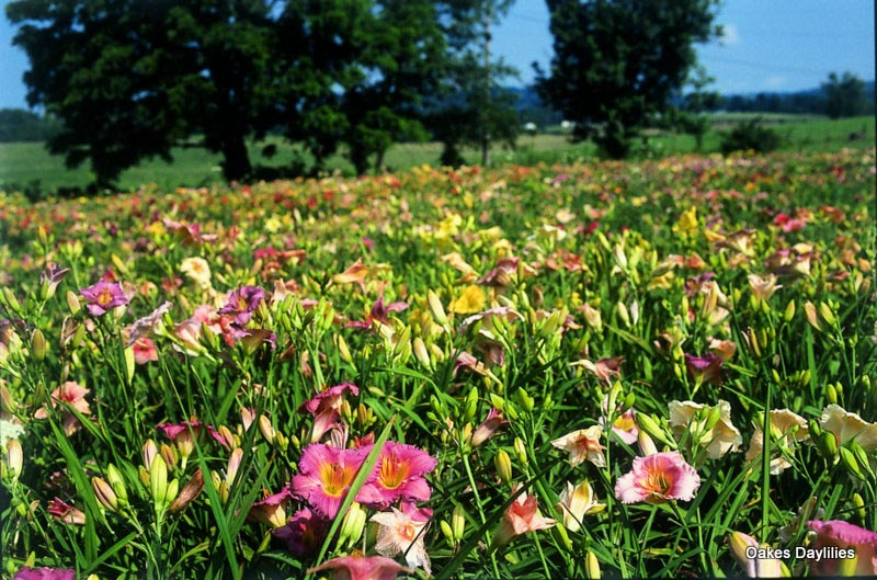 Select Mixed Daylilies