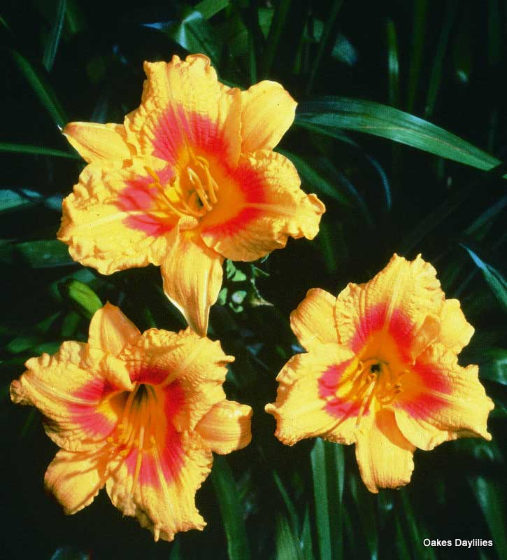 """Perennial Daylily /""""Janice Brown/"""" Live Plant Double Fan"""