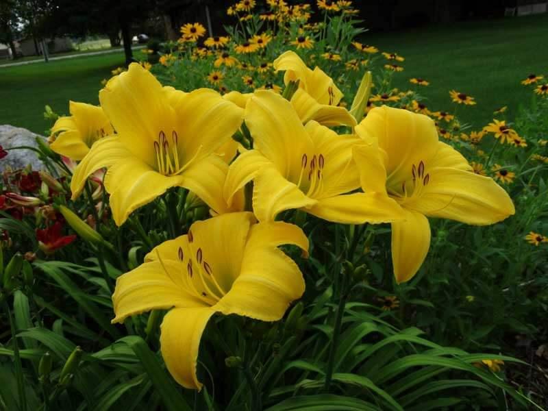 yellow-daylily