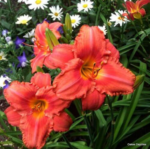 coral-daylily-oakes-daylilies