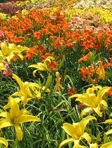 Oakes-Daylily-Care-1