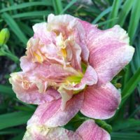 Spotted Fever double speckled daylily