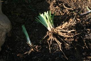 rootclump2