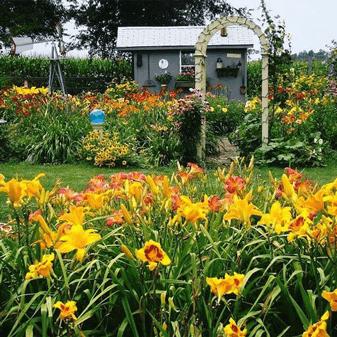 oakes-daylilies-rhizomes