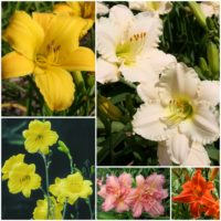 All American Daylily Collection