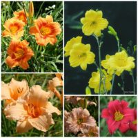 Rebloom Daylily Collection