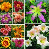 I want it all daylily collection 2021