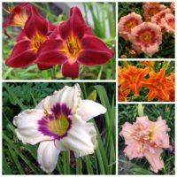 Most Photogenic Daylily Collection 2021
