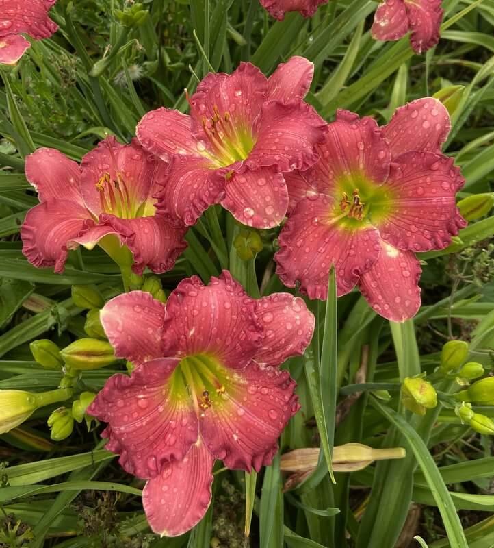 pink daylily mid season bloomer